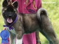American Akita 3 Girls Puppies High Quality