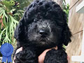 Dijual High Quality Toy Silver Poodle Puppy Jantan