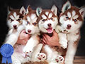 Purebred Puppies Siberian Husky Long Hair (Wooly)